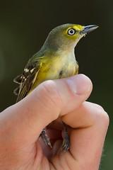 White-eyed Vireo (stephaniepluscht) Tags: alabama 2019 bird banding band birmingham audubon whiteeyed white eye eyed vireo