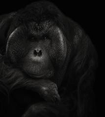Pongo pygmaeus (zeissizm) Tags: monochrome animal vita bw