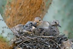 Dove Family 6511 (maguire33@verizon.net) Tags: losangelescountyarboretum mourningdove zenaidamacroura bird dove wildlife