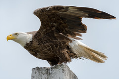 Bald eagle (Pygargue à tête blanche) (miro_mtl) Tags: aigle ailes america american amerique attente bald baldeagle bird birdofprey chasse chasseur d7200 eagle feathers florida haliaeetusleucocephalus hunter hunting merritisland michelrochon nikon nikond7200 oiseau oiseaudeproie outdoors patience plumage printemps pygargue pygargueàtêteblanche sky tamron tamronsp150600mm titusville usa waiting wildlife wings