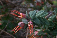 Darwinia citriodora 2 (nbgact) Tags: australian national botanic gardens canberra act barry m ralley barrymralley dicotyledons lemonscented darwinia darwiniacitriodora