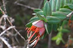 Darwinia citriodora 3 (nbgact) Tags: australian national botanic gardens canberra act barry m ralley barrymralley dicotyledons lemonscented darwinia darwiniacitriodora