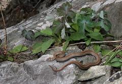 Red-bellied Snake (Storeria occipitomaculata) (jd.willson) Tags: jd willson jdwillson nature wildlife herps herping field fieldherping reptile maine wildliferedbellied snake storeria occipitomaculata