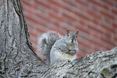 309/365/3961 (April 16, 2019) - Squirrels of Harvard University - April 16th, 2019 (Cambridge, Massachusetts)