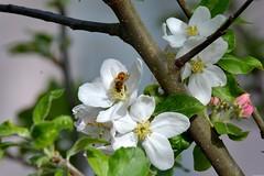 Tiens, tiens, tiens... (Olivier Simard Photographie) Tags: thann alsace pommier fleurdepommier arbre fleur abeille insecte printemps pétales pistil butinage