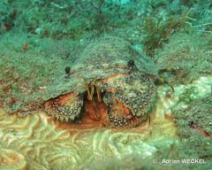 13-IMG_8750 (adrienweckel) Tags: adrienweckel cigaledemersculptée crustacés parribacusantarcticus