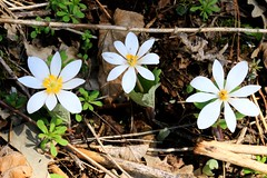 bloodroot (Sanguinaria  canadensis) blooming at Lake Meyer Park IA 653A0316 (naturalist@winneshiekwild.com) Tags: bloodroot sanguinaria canadensis blooming early spring wildflower natural dye red poisonous toxic