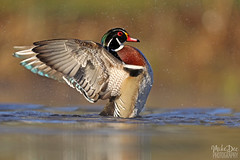 IMG_9244nxs (4President) Tags: wood duck aix sponsa minnesota