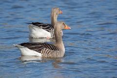 20190422-162555 (ivar.schiager) Tags: fugl grågås gås østensjøvannet