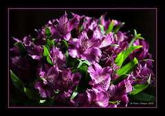 Tuesday Afternoon (Peter Camyre) Tags: flower flowers purple color colorful peter camyre photography picture photo canon 1dx mkii