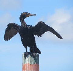 cormorant drying wings (Cheryl Dunlop Molin) Tags: cormorant cormorantdryingwings doublecrestedcormorant bird