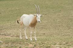 Scimitar-horned Oryx. (watt.charlene) Tags: antelope oryx animal mammal zoo marwell nikon scimitarhornedoryx d500 nikond500