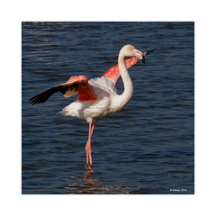 Schönheit im Quadrat (Babaou) Tags: frankreich france provencealpescôtedazur paca provence camargue saintesmariesdelamer pontdegau flamingo flamant dxopl luberon2018