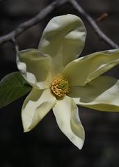 Creamy Magnolia (KsCattails) Tags: kathrynkennedy kscattails magnolia nature powellgardens spring yellow