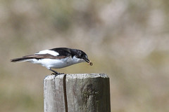 Pied Flycatcher Holme NOA Norfolk (JohnMannPhoto) Tags: pied flycatcher holme noa norfolk