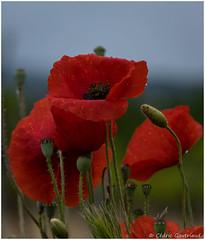 Coquelicots sous la pluie / Poppys under the rain (cgautriaud) Tags: reflex ricoh fleur flower pentax gard sud south southoffrance suddefrance france extérieur rouge red occitanie languedoc coquelicot poppy