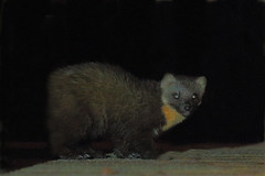 Pine Martin taken at three AM at Strathyre Scotland, away for a while try for one in daylight. (minvallaa) Tags: pine martin strathyre scotland night highlands wild caledonian woodland