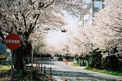 There is no wrong way here (GingerKimchi) Tags: flowers trees nature cherryblossom sakura 벚꼿 마산 창원 진해 필름 korea masan changwon jinhae spring film filmphotography 35mmfilm canonphotography canona1 canonfilm