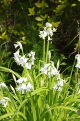 Springing white (Sundornvic) Tags: spring flowers green white blue bluebells spanish nature shropshire sunshine pentax art pentaxart k70
