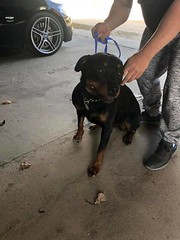 FOUND young black w/tan Rottweiler type female dog in #penbrooke_meadows. Has city tag and has been picked up by city. Please rt and share for owner awareness. IF CLAIMING PLS PROVIDE PROOF OF OWNERSHIP. YYC Pet Recovery shared a post. Found in penbrook s (yycpetrecovery) Tags: ifttt april 17 2019 0111am