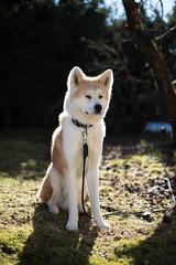 """I always like a dog so long as he isn't spelled backward."" ― G.K. Chesterton (eba5684) Tags: akita dog hund inu dogs dogportrait dogportraits spring sun light reflector nikkor nikond750 bokeh"