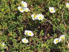 Sage-leaved Cistus (Cistus Salviifolius) (Gerald (Wayne) Prout) Tags: sageleavedcistus cistussalviifolius plantae angiosperms eudicots rosids malvales cistaceae cistus salviifolius magnoliophyta equisetopsida sageleaved sageleavedrockrose salviacistus gallipolirose perennial ligneous entomophily shrub bush saolourencotrail riaformosanaturereserve quintadalago almancil algarve portugal prout geraldwayneprout canon canonpowershotsx60hs powershot sx60 hs digital camera photographed photography nature vegetation saolourenco trail riaformosa reserve region southern