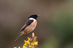 Stonechat (ctrolleneos) Tags: canon80d 100400 barossa swt surrey berkshire stonechat