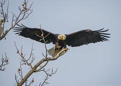 16 April Eagles9-4161215 (TheMOX) Tags: eagle baldeagle bald raptor greenfield hancockcounty