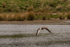 DSC02319 (davyskin46) Tags: sony slt tamronaf70300mmf456dildmacro a77ii avian wildfowlandwetlandstrust wwt northeastofengland goose greylag inflight