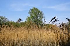 Vegitation along the K&A Canal, Thatcham (Normann) Tags: farm field thatcham