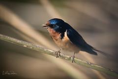 Barn Swallow with a muddy beak. (Lisa Roeder) Tags: ngc osoflacolake wildlife perchedbirds birds barnswallow