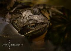 Common frog (John Chorley) Tags: frog amphibian johnchorley 2019 wildlife nature