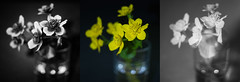 Photo of Caltha palustris, UV, visible, infrared