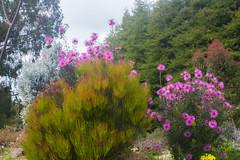 IMG_1475 (Pigeon Travels) Tags: 2019 arboretum california flowers garden nature santacruz trees ucsantacruzarboretum