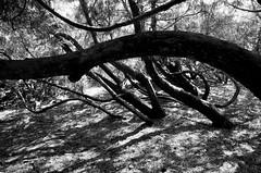 Les grands saules font leurs exercices quotidiens... (woltarise) Tags: gr ricoh nature botanique jardin montréal saules arbres