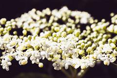 little swarm of petals (theoswald) Tags: flower d3300 details nikon dof nature