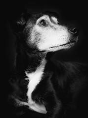 DENS6954 (YouOnFoto) Tags: black white dog old 12 year gray hair zwart wit oud jaar rocky fujifilm xt20 systeemcamera