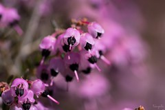 Channelled heath (Erica canaliculata) (takapata) Tags: sony sel90m28g ilce7m2 macro nature flower
