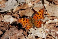C-Falter (Polygonia c-album) (AchimOWL) Tags: schmetterling insekt insect tier tiere animal makro macro gx80 wildlife outdoor schärfentiefe fauna bielefeld owl butterfly