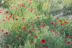 campo de flores silvestres con efecto pintura (Rosa Tomé) Tags: flores campo silvestre primavera efectopintura amapolas ababoles