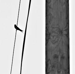 First Swallow of the Year - Lamesley (Gilli8888) Tags: northeast olympus e450 dslr birds blackandwhite swallow wires pole linear lamesley tyneandwear monochrome