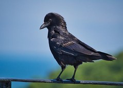 UNSTONED CROW by Avril L Candler (Harrow Camera Club) Tags: pdi16apr annual nature prom hc