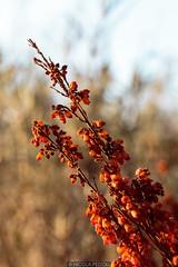 Vivid orange (Nicola Pezzoli) Tags: val gandino seriana bergamo italia italy nature spring leffe ceride san rocco flower flowers macro orange bokeh