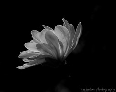 If we were to wake up some morning and find that everyone was the same race, creed and color.... (itucker, thanks for 5+ million views!) Tags: macro bokeh bw magnolia blossom magnoliablossom starmagnolia manypetalledstarmagnolia waterlily raulstonarboretum
