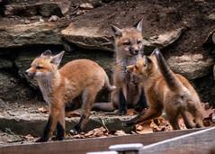 Fox Kits 04.19-6 (Kitoon) Tags: fox foxkits nature animal