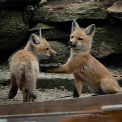 Fox Kits 04.19-3 (Kitoon) Tags: fox foxkits animal nature