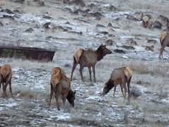 Herd of elk along I-90 overlooking Columbia River (Animal People Forum) Tags: elk deer ungulate antlers buck doe herd herbivore i90 columbiarivervalley windmills freeway highway washingtonstate grazing vantage
