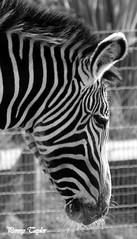 zebra (alpenfrankie) Tags: canon eos 750d animals mammal ywp blackandwhite bw monochrome zebra captive camouflage