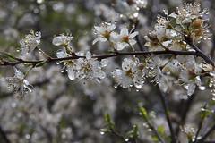 Regentropfen - Raindrops (heinrich.hehl) Tags: natur flora zweig weisdorn blüten frühling regentropfen makro macro raindrops spring blossoms hawthorn branch nature