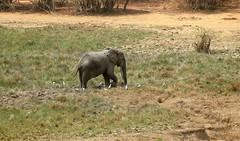 Savanna elephants, Mole National Park, Ghana (inyathi) Tags: westafrica ghana africanwildlife africananimals africanelephants elephants savannaelephants loxodontaafricana molenationalpark molemotel nationalparks nationalpark africa